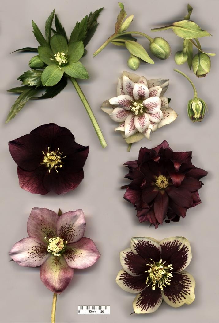 Hellebore_flowers